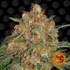 Barney's Farm - Orange Sherbert - 3 seeds