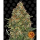 Barney's Farm - Auto Pineapple Express 3 seeds